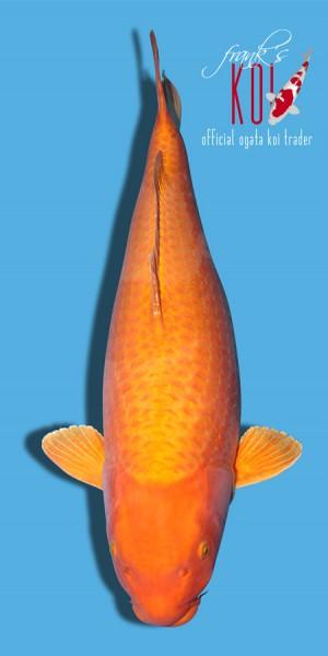 Koi Orange Ogon