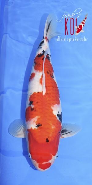 Koi Sanke Züchter Ogata ca. 60cm weiblich 2019 geboren