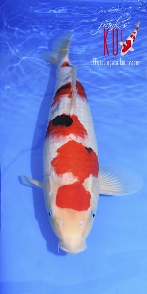 Sanke ca. 48cm, weiblich, geboren 2019, Züchter Ogata