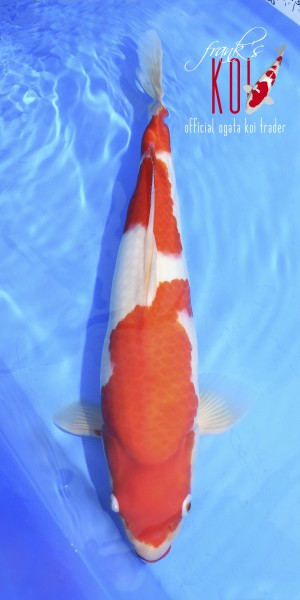 Kohaku ca. 48cm weiblich, Züchter Ogata geboren 2019