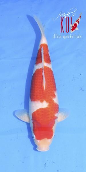 Kohaku ca. 45cm, weiblich, geboren 2019, Züchter Ogata