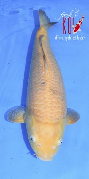 Karashi ca. 50cm, weiblich, geboren 2019, Züchter Ogata