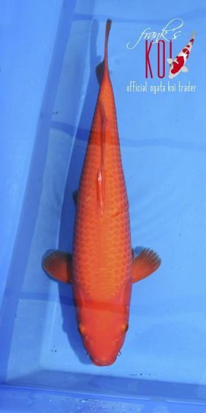 Benigioi ca. 52cm, weiblich, geboren 2019, Züchter Ogata