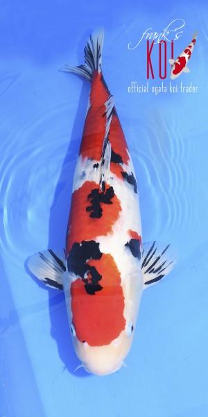 Sanke, ca. 61cm groß weiblich, 2019 geboren Züchter Ogata